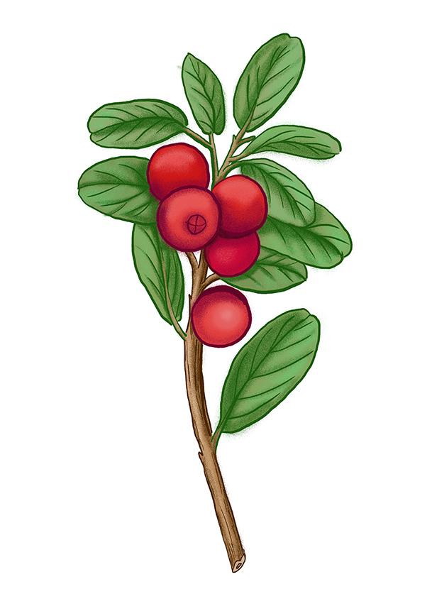 brusinka lingonberry