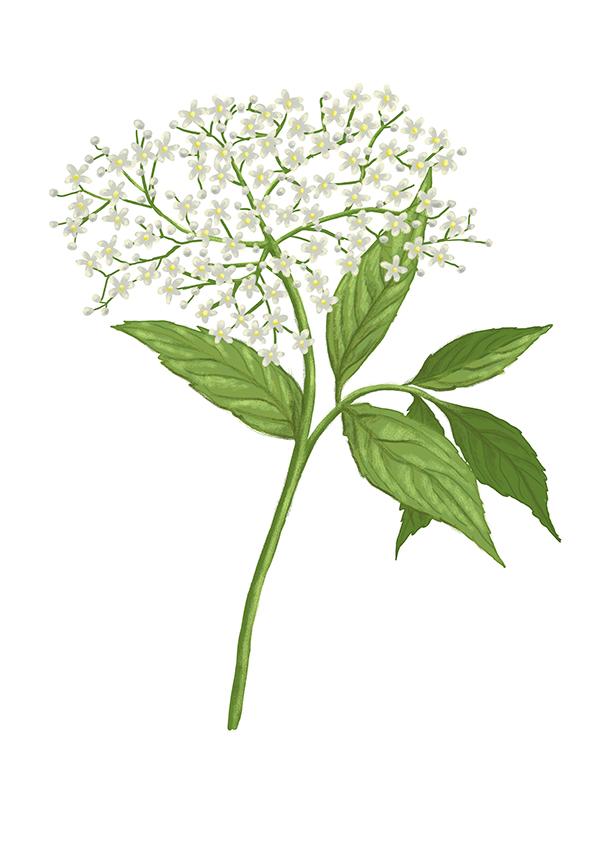 cerny bez elder blossom