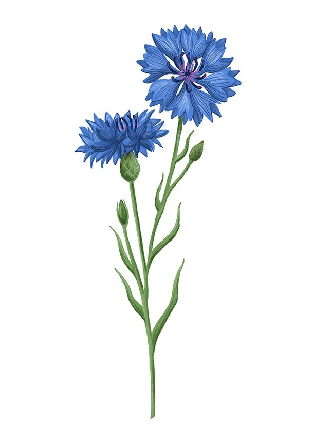 chrpa polni cornflower