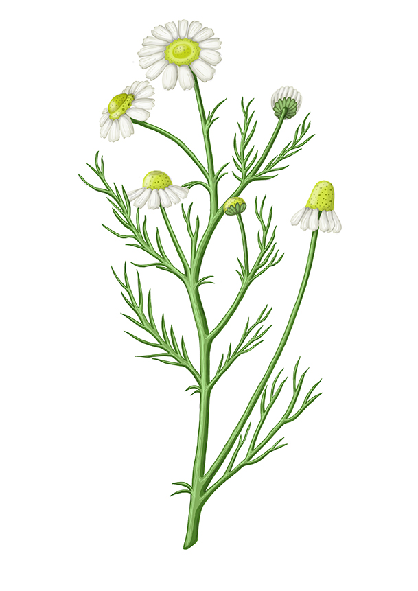 hermanek pravy chamomile german