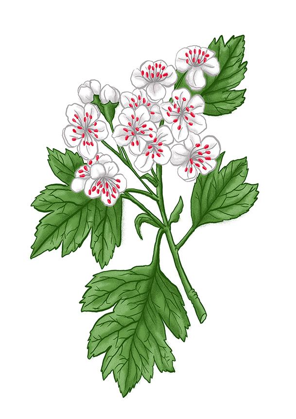 hloh kvet hawthorn