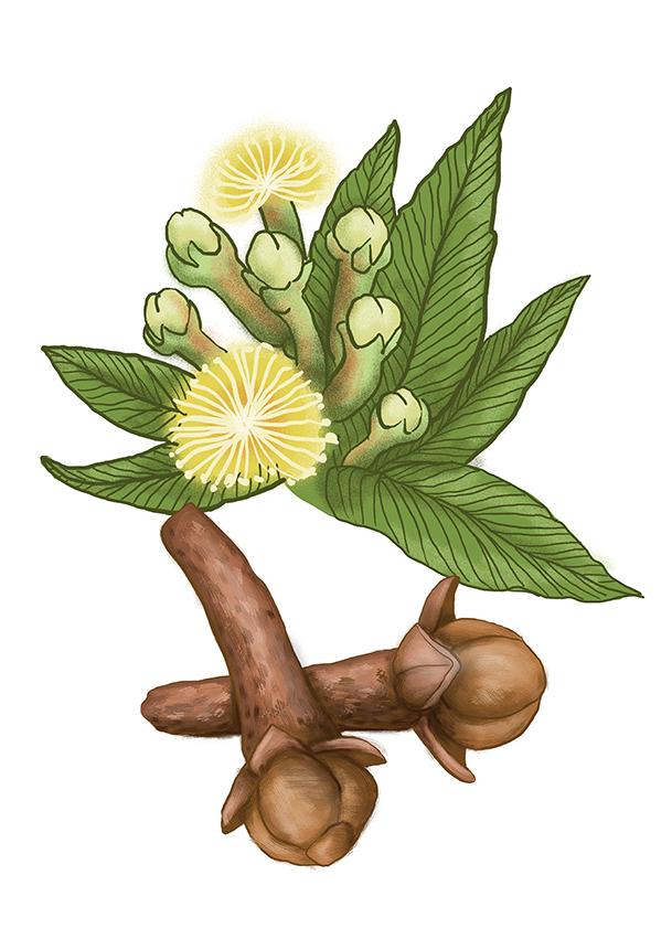 hrebicek clove
