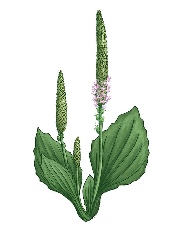 jitrocel ribwort plantain