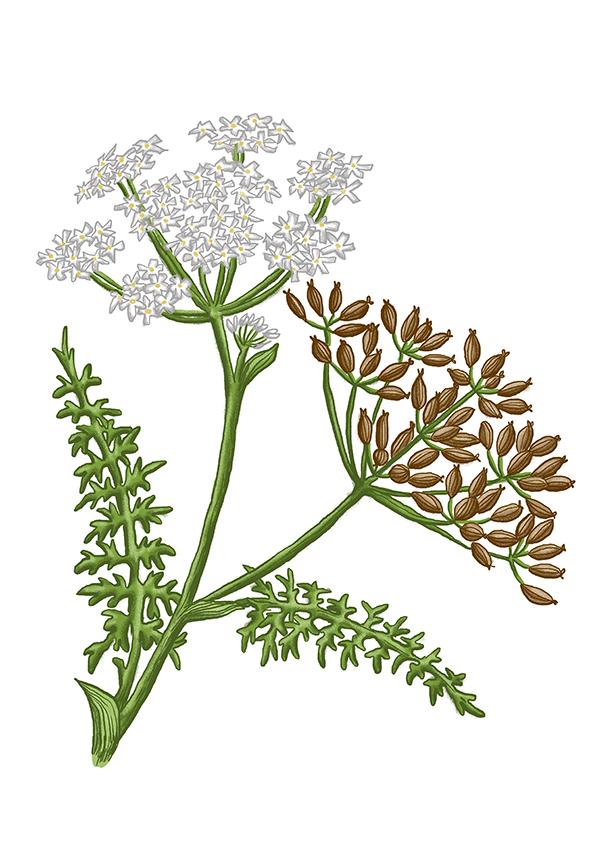 kmin plod caraway seeds
