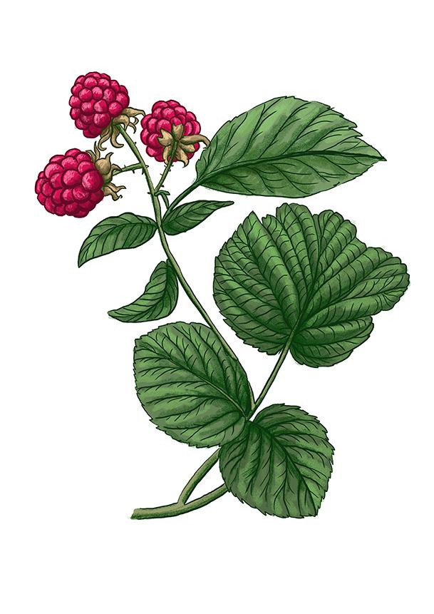 malinik raspberry