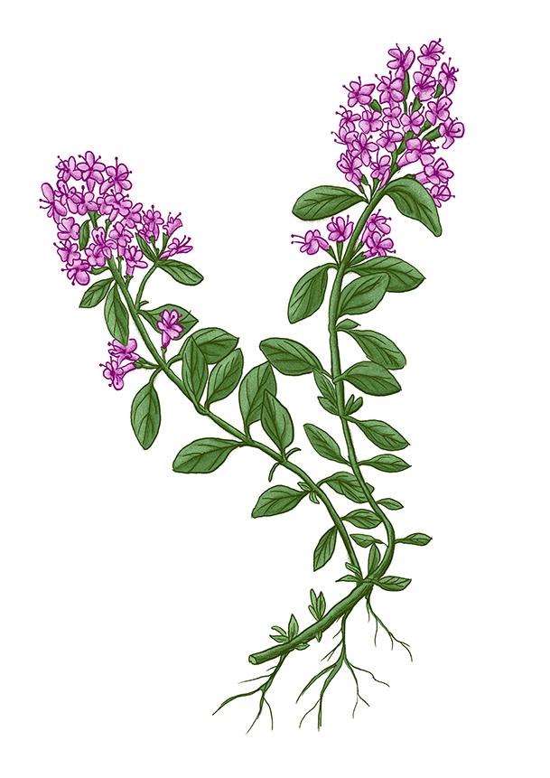 materidouska thyme