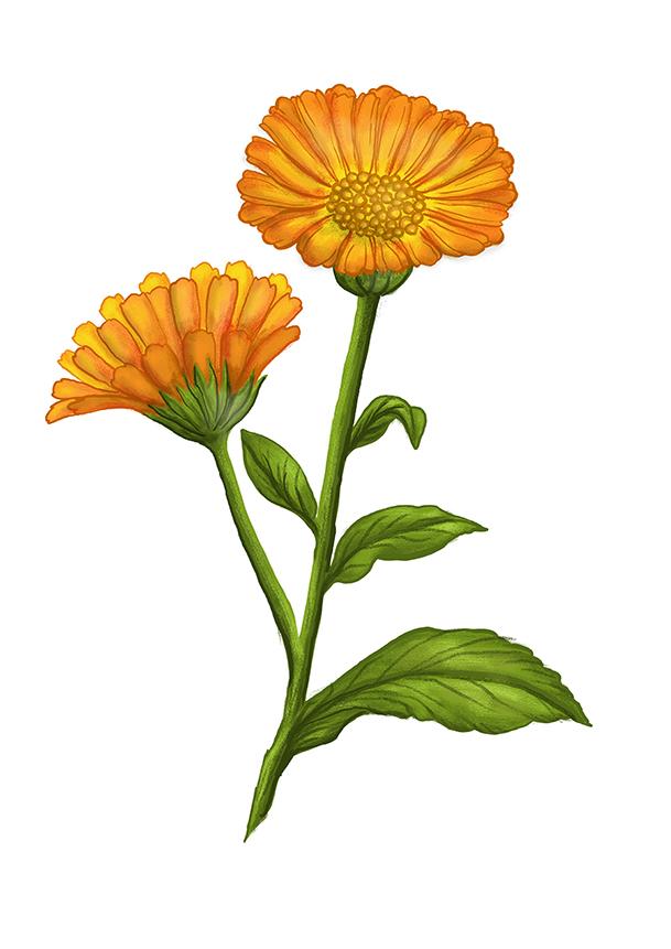 mesicek lekarsky marigold