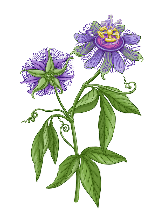 mucenka passionflower