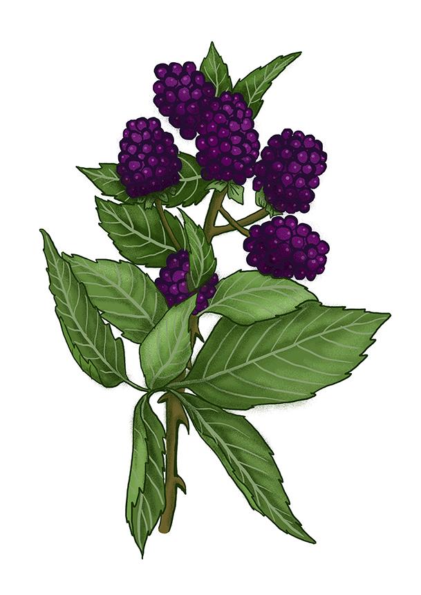 ostruzinik blackberry