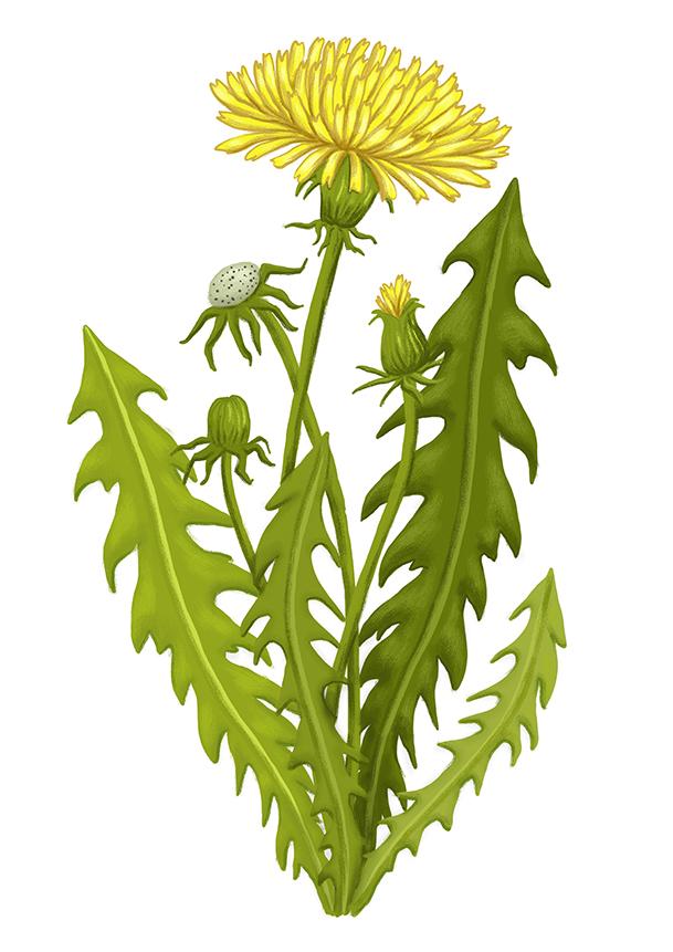 pampeliska dandelion