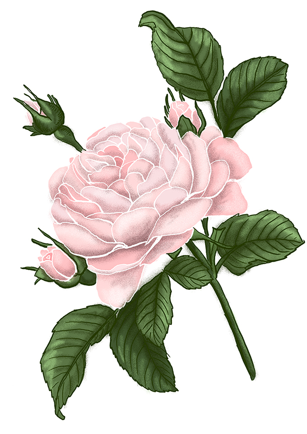 ruze rose