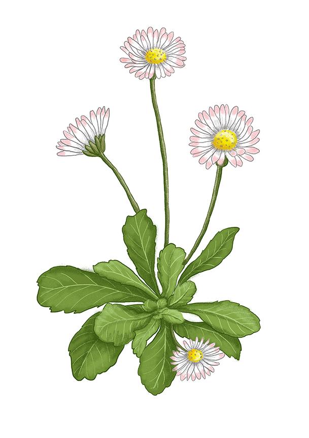 sedmikraska daisy