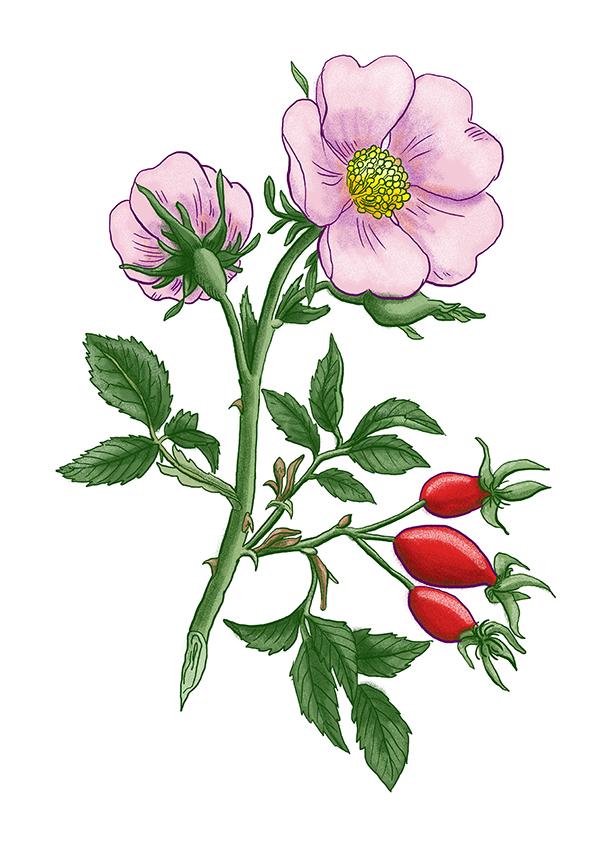 sipek ruze sipkova rose