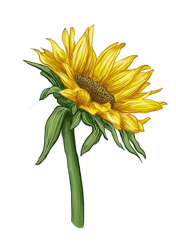 slunecnice sunflower